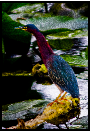 NewAWGreenHeron824526x36web7x10final2